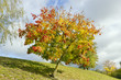 Colored lonely autunm maple tree