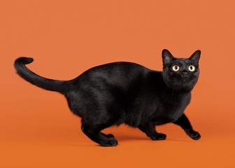 black traditional bombay cat on nuts background