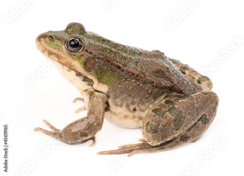 Foto op Plexiglas Kikker Green frog isolated