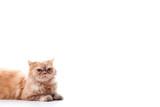 Gato sentado en fondo blanco poster