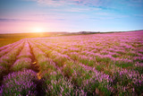 Fototapety Meadow of lavender