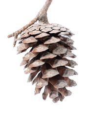 Fir cone isolated on white background