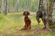 Hunting dog near to shotgun and trophy, outdoors