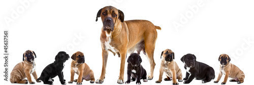 Mother and 7 puppies of Cane Corso Italiano  together