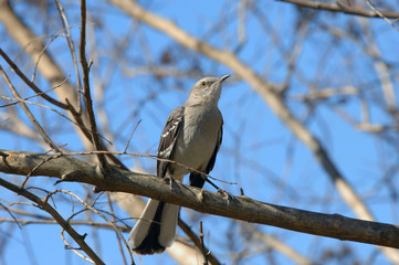 Arkansas Mocking Bird