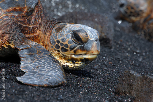 Big Island Sea Turtle