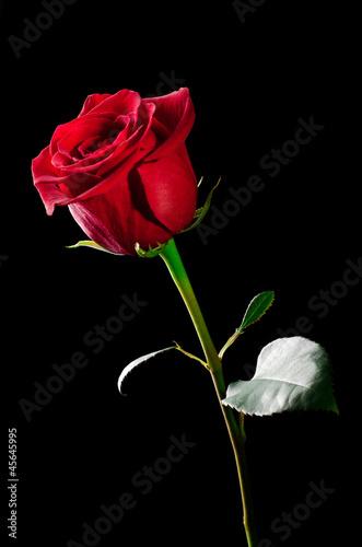 Rose flower. - 45645995
