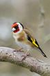Goldfinch (Carduelis-carduelis)