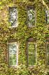 Ivy Covered Walls Around Windows