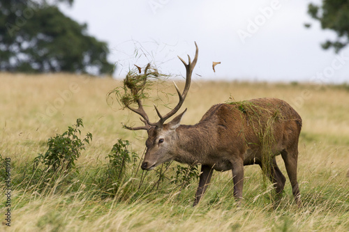 Red deer ( Cervus elaphus)