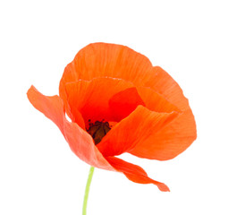 A red poppy isolated on the white background.