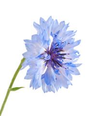 Blue cornflower isolated on the white background.