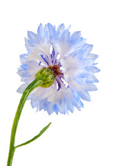 Blue cornflower isolated on the white background.