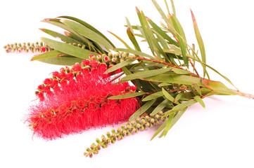 Banksia on white background. Australian native flower