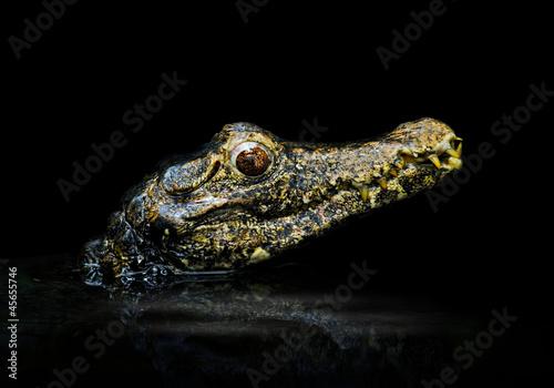 Fototapeten,alligator,krokodile,krokusse,schwarz