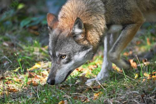 Wolf verfolgt Spur
