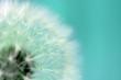 Leinwanddruck Bild - Dandelion