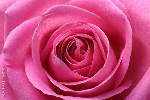 Foto op Canvas Macro Close up of pink rose heart and petals