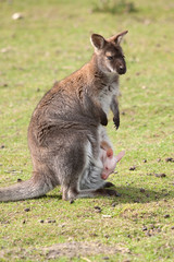 wallaby with joey 6954