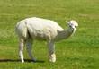 White Alpaca against green background