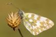 Bath white butterfly on a flower / Pontia daplidice