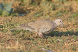 collared dove feeding on the ground / Streptopelia decaocto
