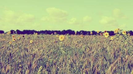 sparse sunflowers