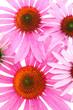 Sonnenhut (Echinacea purpurea) - Mehrere Blüten von oben