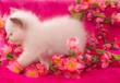 chaton de 1 mois Sacré de Birmanie