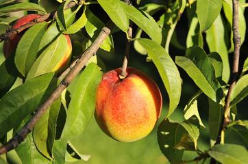 Árbol frutal, nectarino