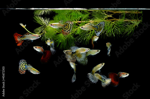 Papiers peints Paon fish guppy pet isolated on black background