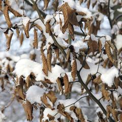 Trockene Buchenblätter im Schnee