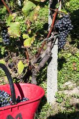 Raccolto dell' uva nelle vigne delle alpi valtellinesi