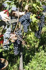 Vendemmia nelle vigne delle alpi valtellinesi