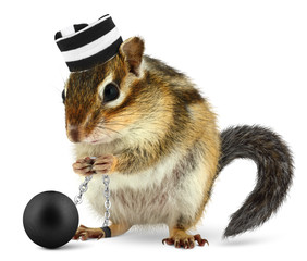 Funny criminal chipmunk in prison hat