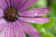 Closeup of purple flower with raindrops
