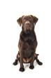 Brown labrador sitting