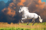 White Andalusian horse runs gallop in summer