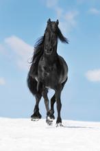 Noir cheval frison court au trot sur la prairie en hiver