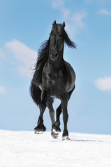 Black Friesian horse runs trot on the meadow in winter