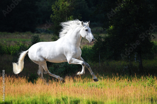 White Andalusian horse runs gallop in summer - 45699508