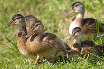 A female wild duck with nearly adult chickens