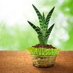 growing aloe vera in decorative pot