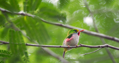 Todus multicolorCUBAN TODY (Todus multicolor) endemic species