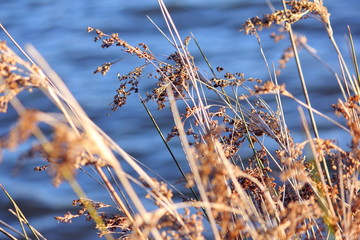Reeds by the Lake
