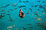 anatra circondata dai pesci - lago di Plitvice poster