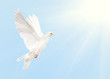 white dove flying in blue sky with sun