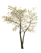 single small spring isolated maple tree