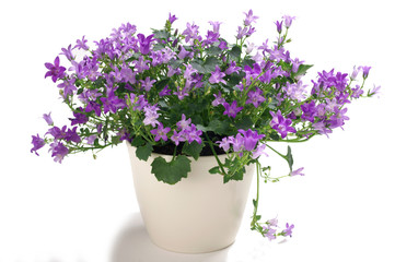 Bell flower, Campanula in a pot