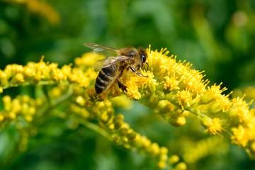Biene auf Goldrute
